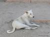 Hundebegegnungen in Nord-Indien 18